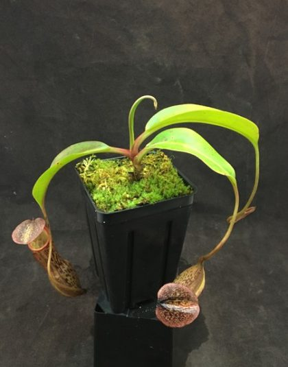 Nepenthes boschiana