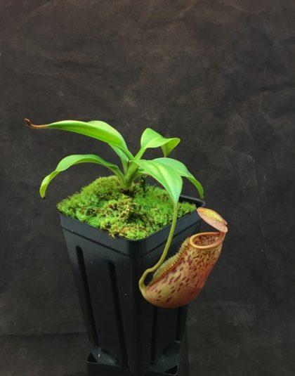Nepenthes mira x copelandii
