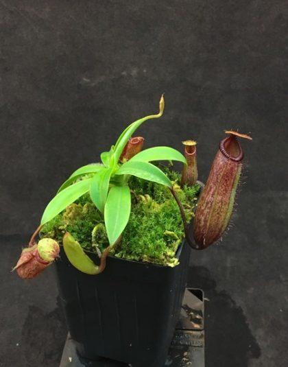 Nepenthes ventricosa x hamata