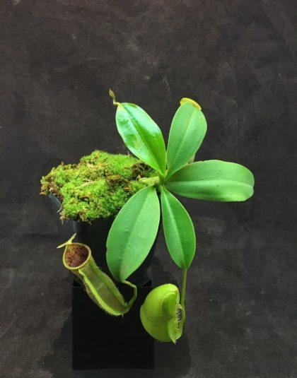 Nepenthes spathulata x campanulata