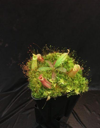 Nepenthes albomarginata