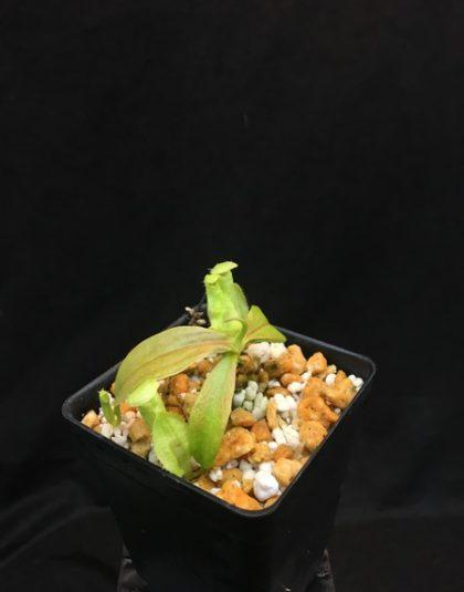 Nepenthes treubiana
