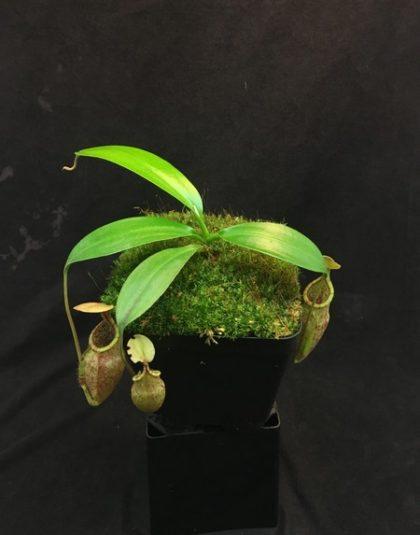 Nepenthes rafflesiana x mira