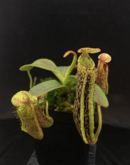 Nepenthes platychila x vogelii