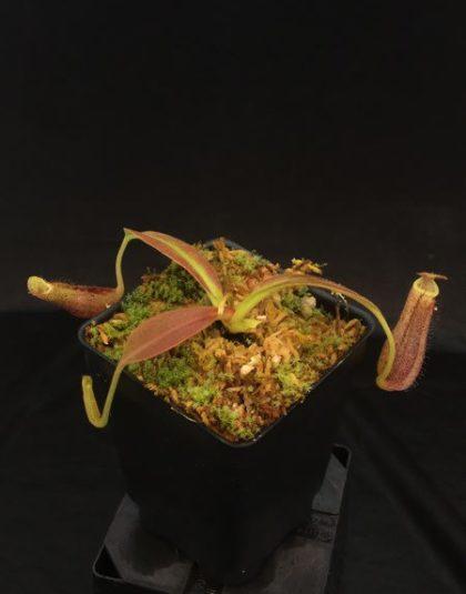 Nepenthes platychila x boschiana