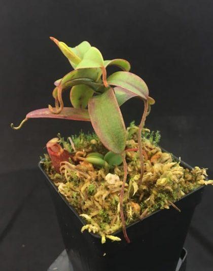 Nepenthes murudensis