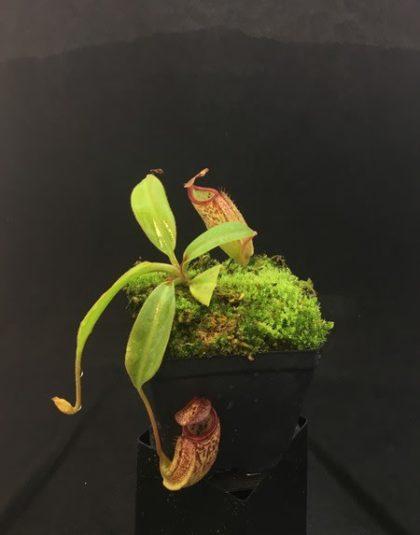 Nepenthes burbidgeae x (maxima x talangensis)