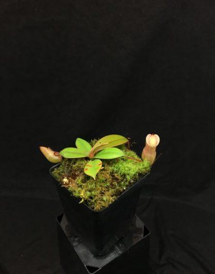Nepenthes sibuyanensis x merrilliana