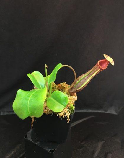 Nepenthes truncata giant, striped x boschiana