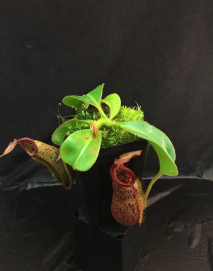 Nepenthes (lowii x boschiana) x veitchii (k)