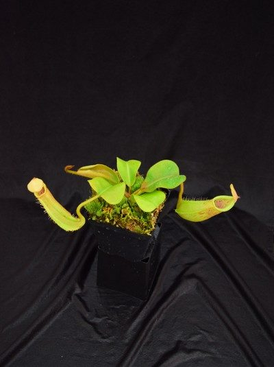Nepenthes truncata - striped x veitchii (m), (a)