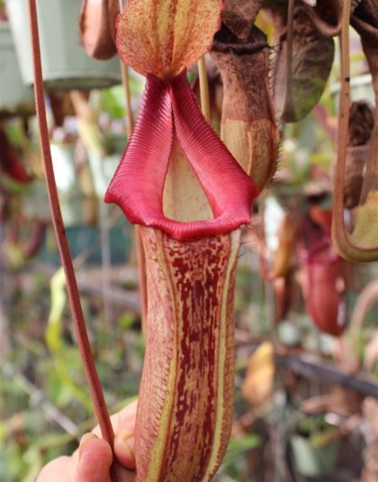 Nepenthes [(lowii x veitchii) x boschiana] x {[(ventricosa x spathulata) x lowii) x (lowii x ventricosa)]}
