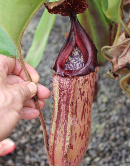 Nepenthes (veitchii x boschiana) x {maxima x [(stenophylla x lowii) x (Rokko x veitchii)]}