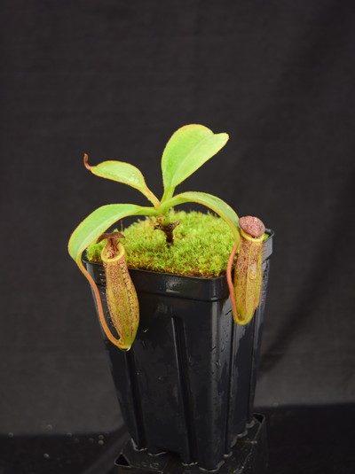 Nepenthes veitchii H/L x burbidgeae