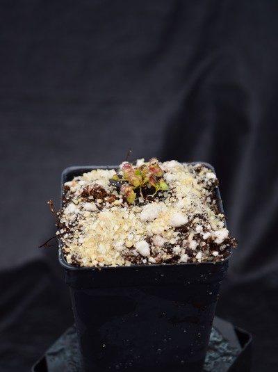 Cephalotus follicularis - Clone #21