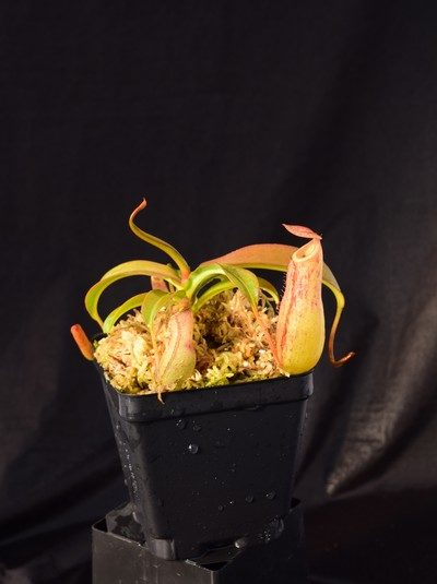 Nepenthes unknown hybrid