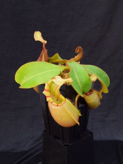 Nepenthes veitchii 'Striped'
